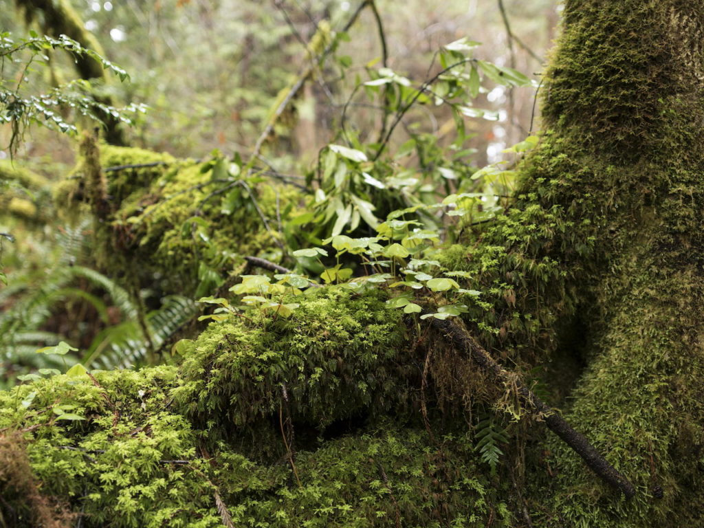 small plants and moss growing on a Redwood tree base