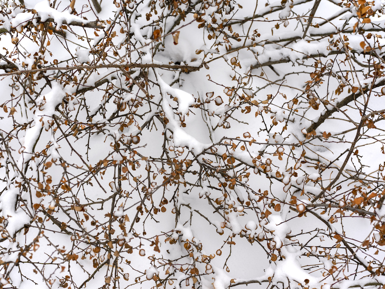 branches and dried leaves weave over fresh snow