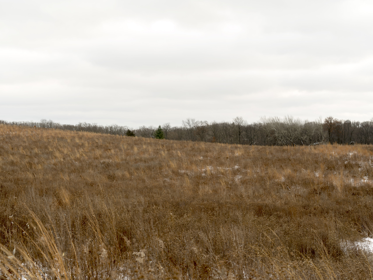 a field of dried and brown grasses, with seeds still attached on a gray day