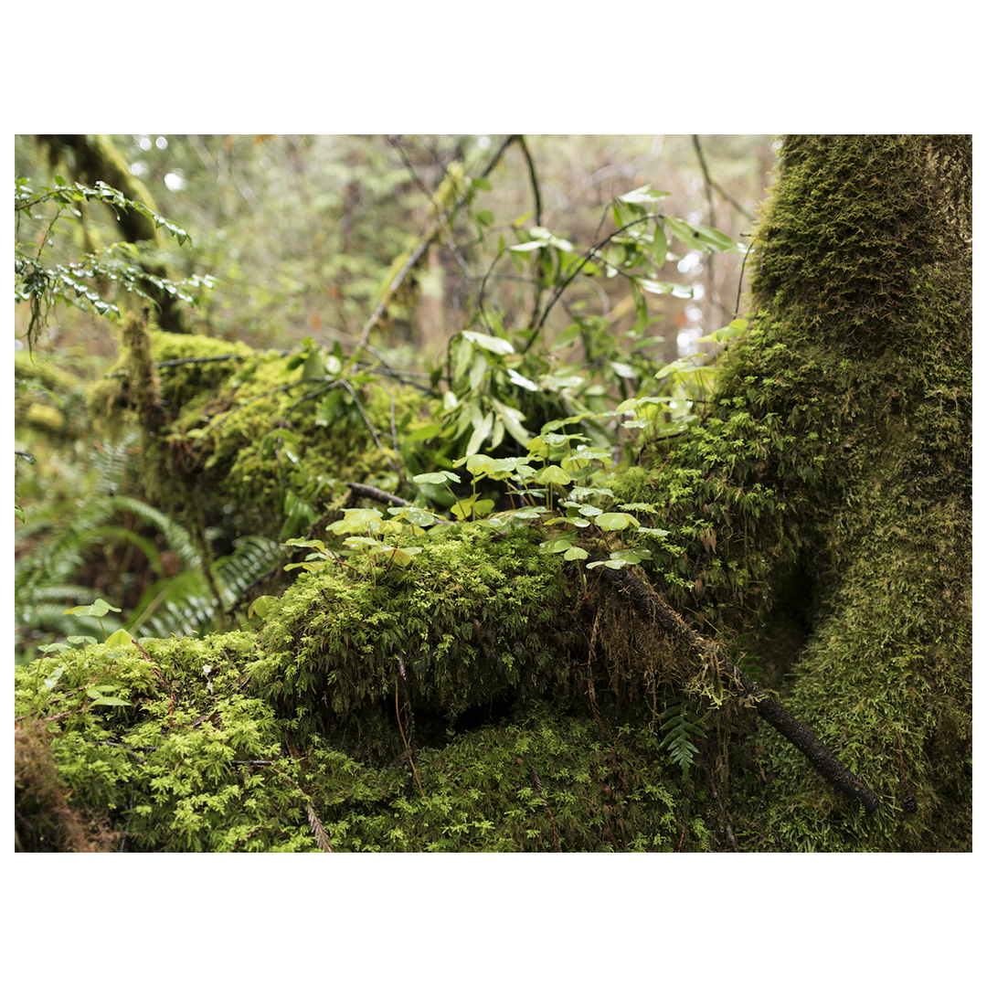 moss covers the roots of trees, lush deep greens and textures from all of the forest floor flora growing together