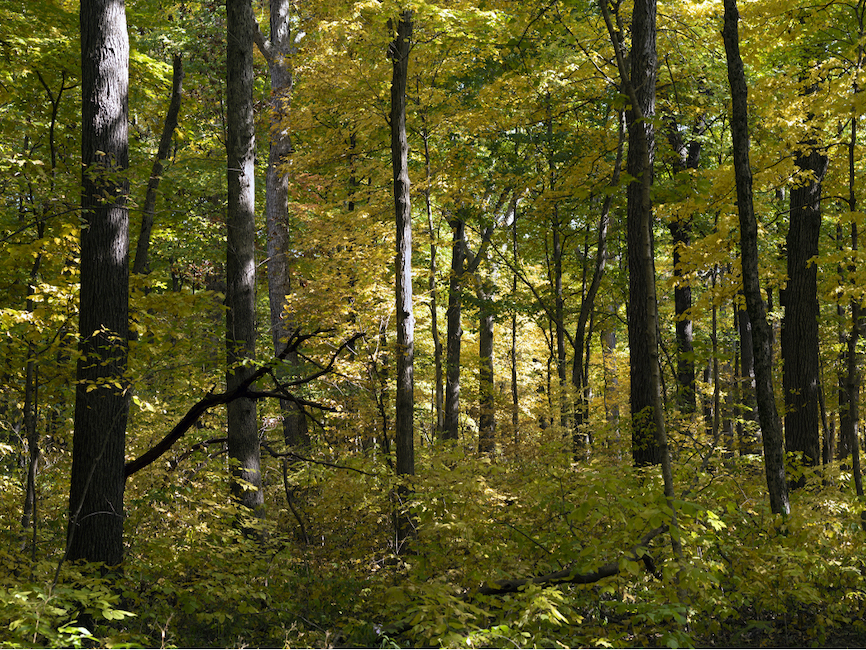 a lush deciduous forest is beginning to shift in colors from green to yellow, many trees stand together, the forest fills the frame