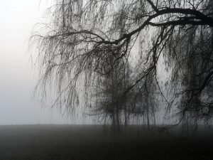 willow trees stand in a heavy fog along the edge of Lake MIchigan, which is entirely obscured by the fog this morning