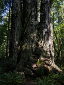 Redwood ferns appear in the most curious places, growing here in the roots of a massive tree