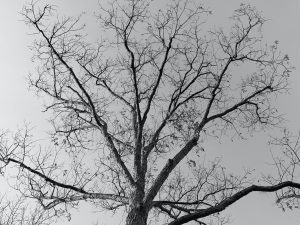a black and white photo of dark and silvery trees in a light gray sky