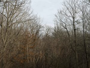 a winter Chicago Forest preserve features trees almost entirely devoid of leaves, browns and warm tones fill the trunks and branches under a soft gently blue sky
