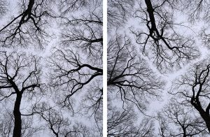 In Abeyance, Winter Trees (15) (16) features crown shyness