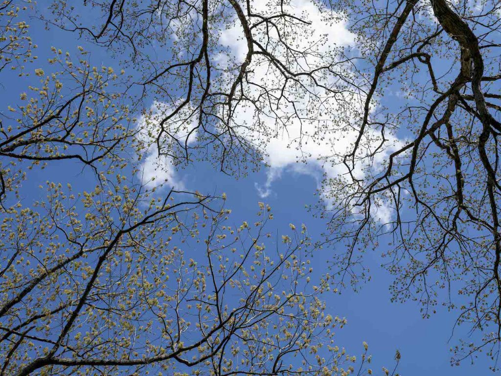 Spring Trees trace across a light blue sky with a cloud in the middle