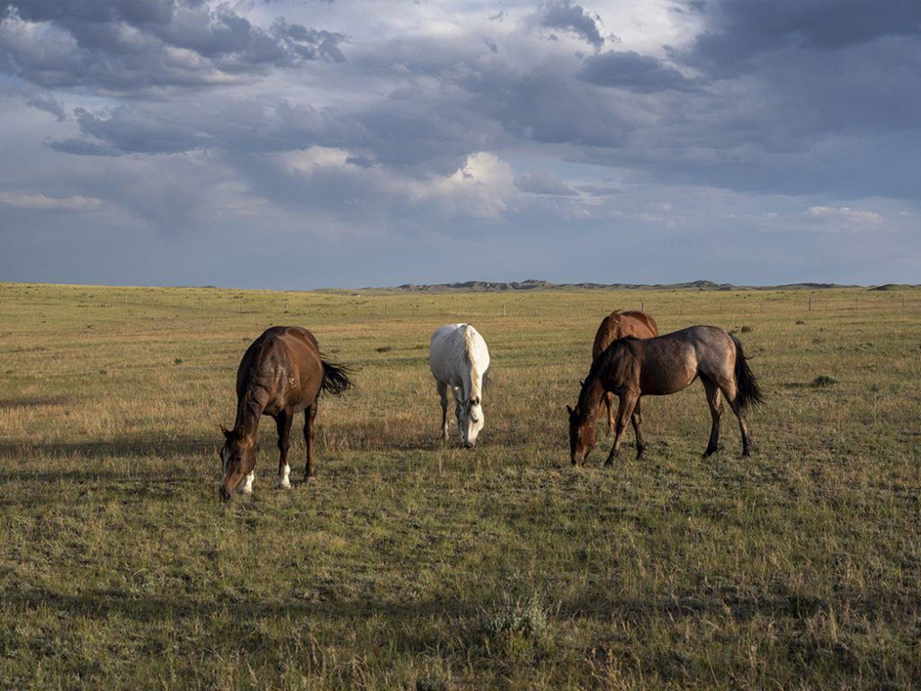 Grazing Horses in Wyoming stand under a dark and cloudy sky near dusk outside of Buffalo Wyoming