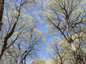 Lemont Grove trees are beginning to become green with leaves as spring fully begins overhead